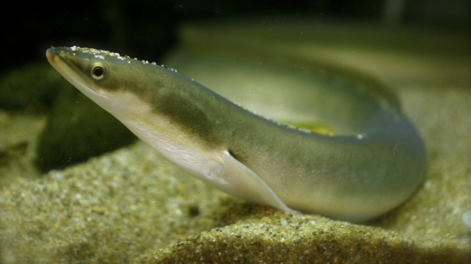 Japanese_eel_16x9.png