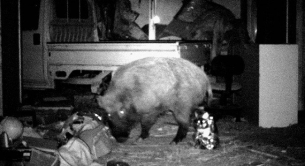 gun-control-heartburn-radioactive-boars_-are_-amok_-in_-fukushima-1