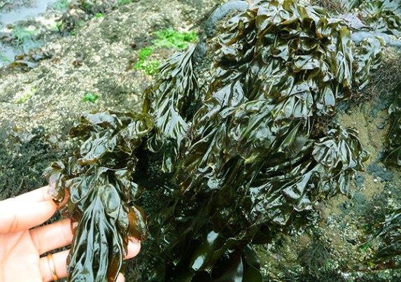Nori-Seaweed.jpg